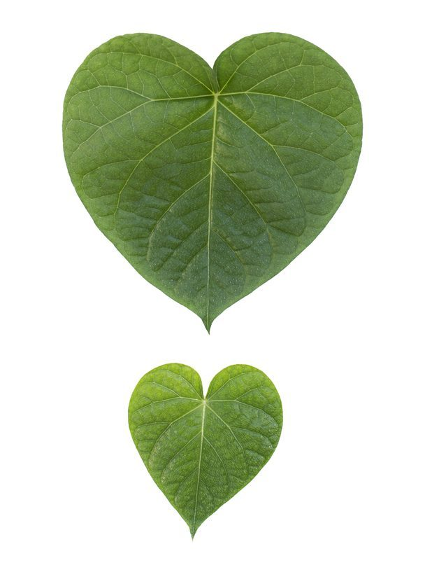 Heartshaped two leafs isolated on white background.